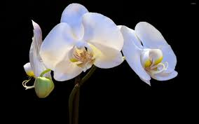White Orchid Flower White Orchid 3 Wallpaper Flower Wallpapers 7826