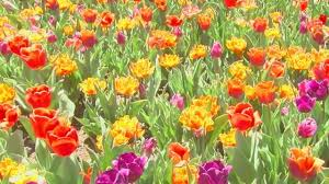 thanksgiving point tulip festival in bloom good4utah