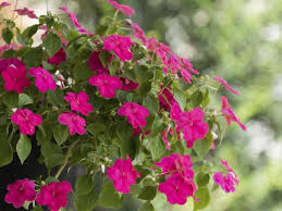 impatiens flowers brighten shady nooks with america s top bedding plant impatiens