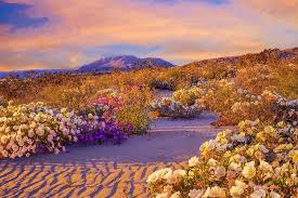 anza borrego super bloom when the desert blooms jstor daily