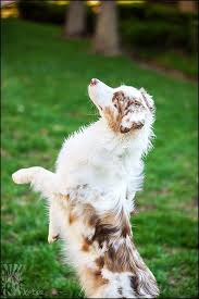 twin oaks 2 australian shepherd best 20 red merle australian shepherd ideas on pinterest aussie