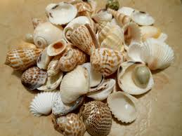 assorted seashells seashells indian mix assorted seashells seashell