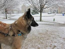 belgian sheepdog guard dog belgian tervuren dog breed information and pictures