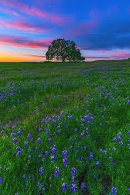 Table Mountain Oroville Ca Wildflowers And Trees Mark Lilly Photography