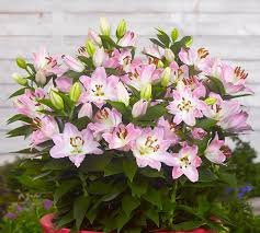 asian lilies best lilies for pots and containers