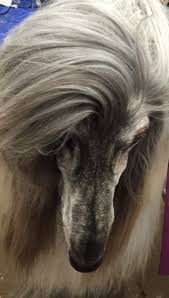 afghan hound hairstyles jolie afghan hounds news