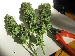 200 watt hps light 100w cfl grow results cannabis growing