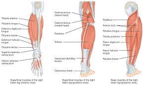 Foot Ligament Anatomy Ligaments Of The Pelvic Girdle Human Anatomy Chart