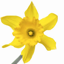 daffodil flower clip art u2013 clipart free download