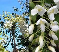 White Flowering Shrub - shrubs for a white garden