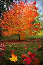 maple tree symbolism sugar maple trees sugar maple tree for our backyard due to the