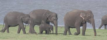 sri lankan elephant species wwf