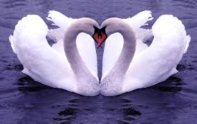 the ugly duckling becomes a beautiful swan hiking2christ