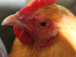 backyard chickens tis the season to molt tilly u0027s nest