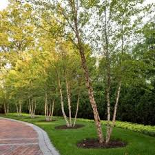 birch trees for sale