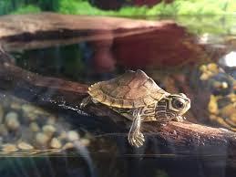 Texas Map Turtle Black Eyed Mississippi Map Turtle Black Eyed Turtle And Reptiles