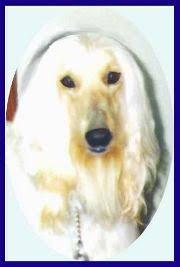 afghan hound rescue north carolina aaawww afghan hounds alf and scharlau sandcastle ii puppies afghan