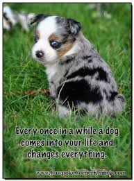 1 year old toy australian shepherd toy aussie 8 weeks dogs of our lives pinterest toys