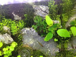 my second attempt uk aquatic plant society