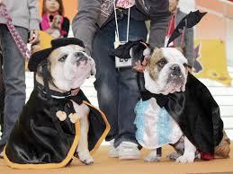 English Bulldog Halloween Costumes Pets Wear Halloween Costumes Cbs Detroit