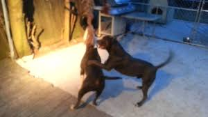 colby american pitbull terrier spring pole time for my colby watchdog pitbulls youtube