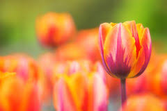 Fowers Bright Yellow Tulip Fowers Stock Photos Images U0026 Pictures 6 Images