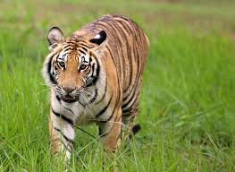 tiger in jungle stock photo image of africa nature 44550718