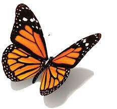 butterfly gifs search butterflies