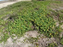 plants native to hawaii ilima native hawaiian garden nhg121215