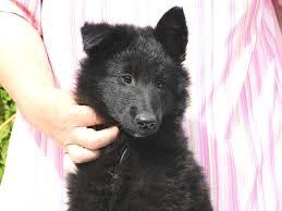 belgian shepherd south africa batman belgian sheepdog puppy for sale euro puppy