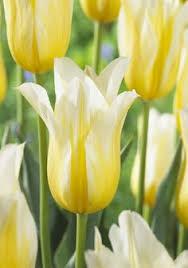 tulip kingsblood tulip bulbs for sale colorblends flora