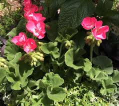 The Geranium On The Windowsill Just Died How To Propagate Geraniums From Cuttings Dengarden
