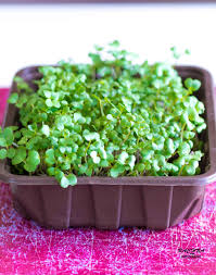 grow your own microgreens in just 3 days how to grow indoor