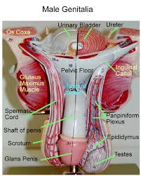 anatomy of vas deferens gallery learn human anatomy image