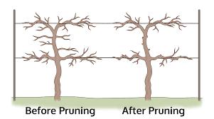 download how to trim grape vines solidaria garden