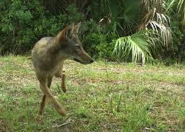 Coyote In My Backyard Coyotes St Petersburg