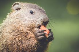 groundhogs animal trackers wildlife company