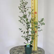 silver drop eucalyptus gunnii cider gum silver drop 1ltr