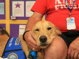 Comfort Golden Retriever Breeders Comfort Dog Lizzie Helps With Loss Depression Or Just A