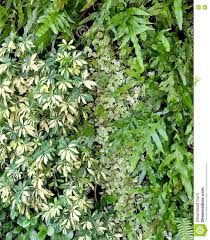 vertical wall of schefflera actinophylla ferns and climbing