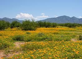 arizona flowers southeastern arizona wildflowers and plants an identification