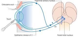 What Is A Reflex Action Example Teach Neurology The Corneal Or Blink Reflex