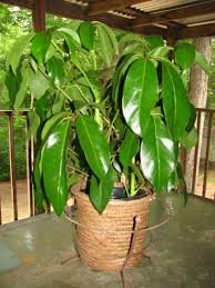 funeral plants houseplant identification and care schefflera plant