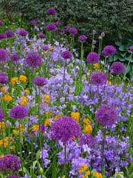allium u0027holland sensation u0027 erysimum campanula purple u0026 orange
