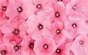 Cute Flower Wallpapers - pink flowers wallpaper 1105260 wallpaper hd pinterest