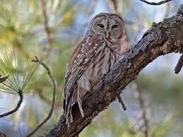 owls in western north carolina owlcation
