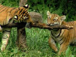 it s not all about fiona cincinnati zoo s 3 tiger cubs turn 1