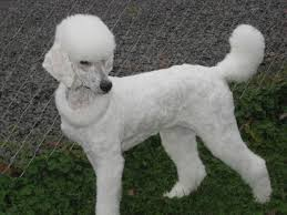 different styles of hair cuts for poodles pin by mary packard on poodle style pinterest poodle cuts and poodle