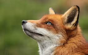 sleeping red fox wallpapers the meaning and symbolism of the word fox