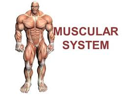 the muscular system 5 lesson 5 1 muscle tissue categories and